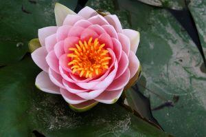 lotus1